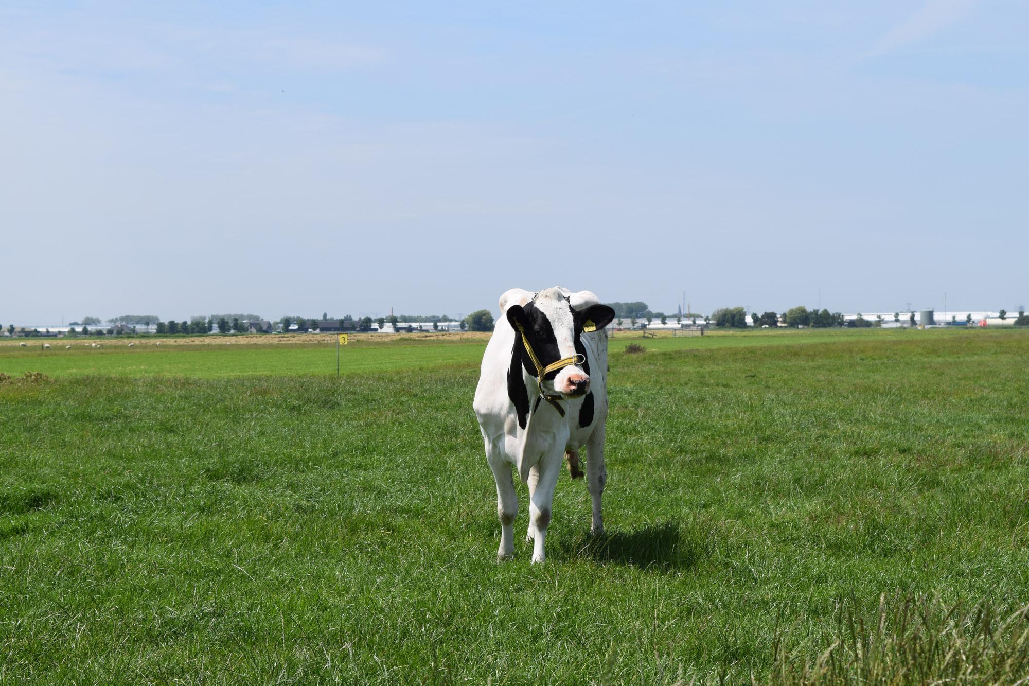 A2 melk koe in het weiland
